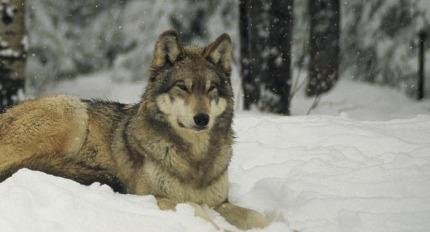 marche-avec-les-loups-agenda